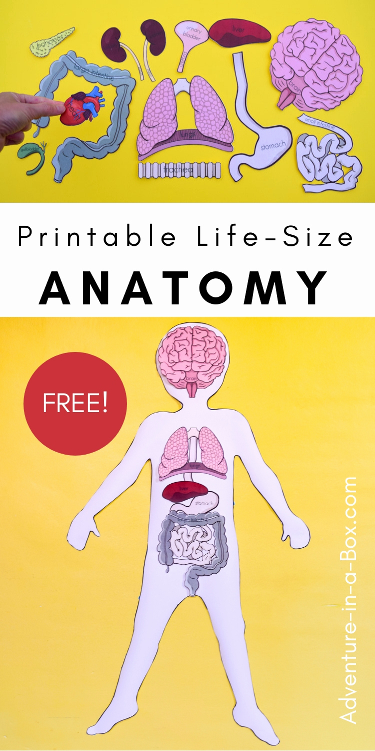 Free Human Body Worksheets Beautiful Free Printable Life Size organs for Studying Human Body