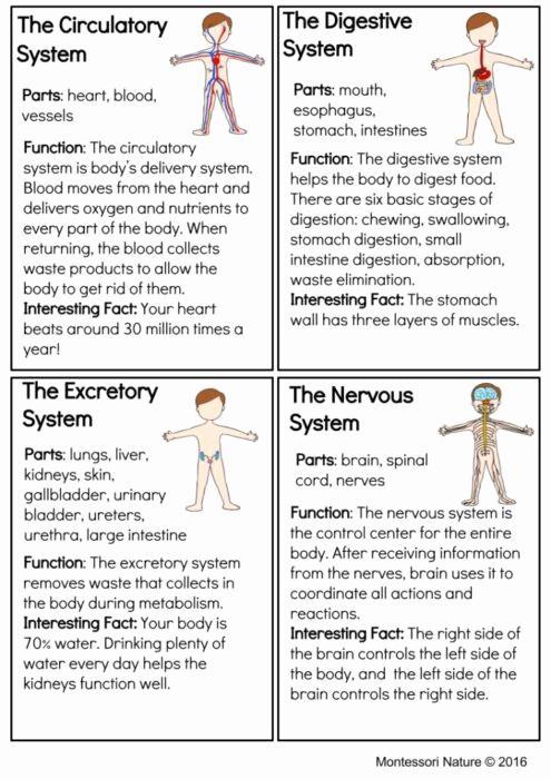 Free Human Body Worksheets Beautiful Systems the Human Body Montessori Printable