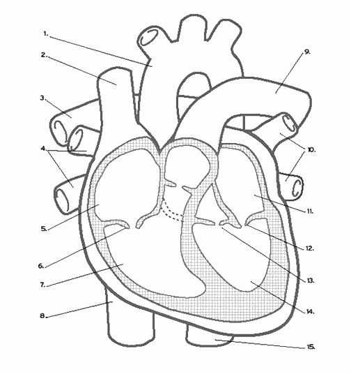 Heart Coloring Worksheet Luxury Heart Anatomy Coloring Worksheet Luxury Heart Labeling