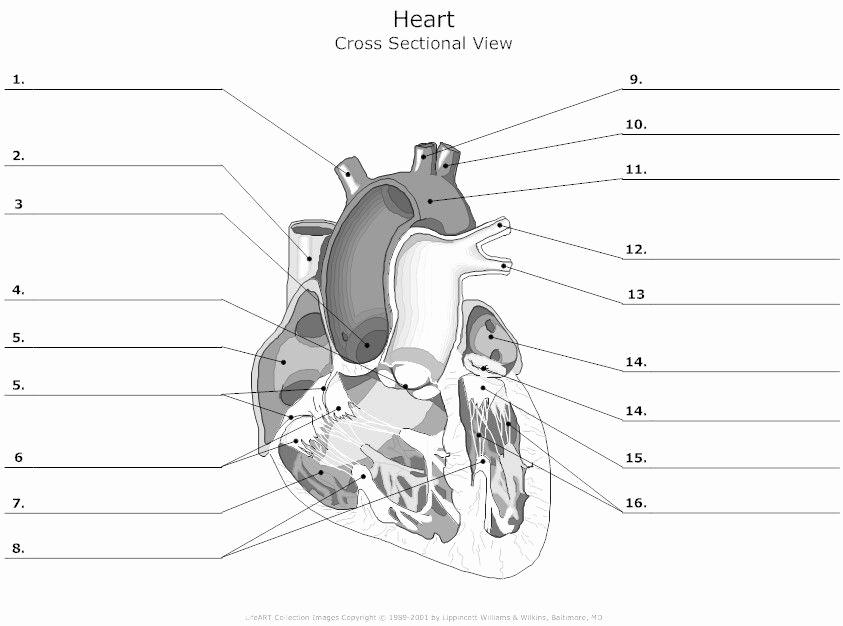 Heart Diagram Worksheet Blank Awesome Heart Diagram Worksheet Blank Hdw10 with Images