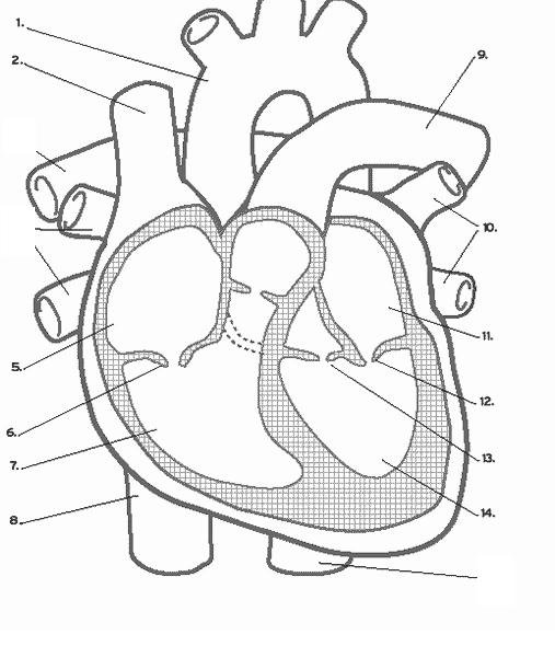 Heart Diagram Worksheet Blank Elegant 4 Best Of Diagram Circulatory System Printable