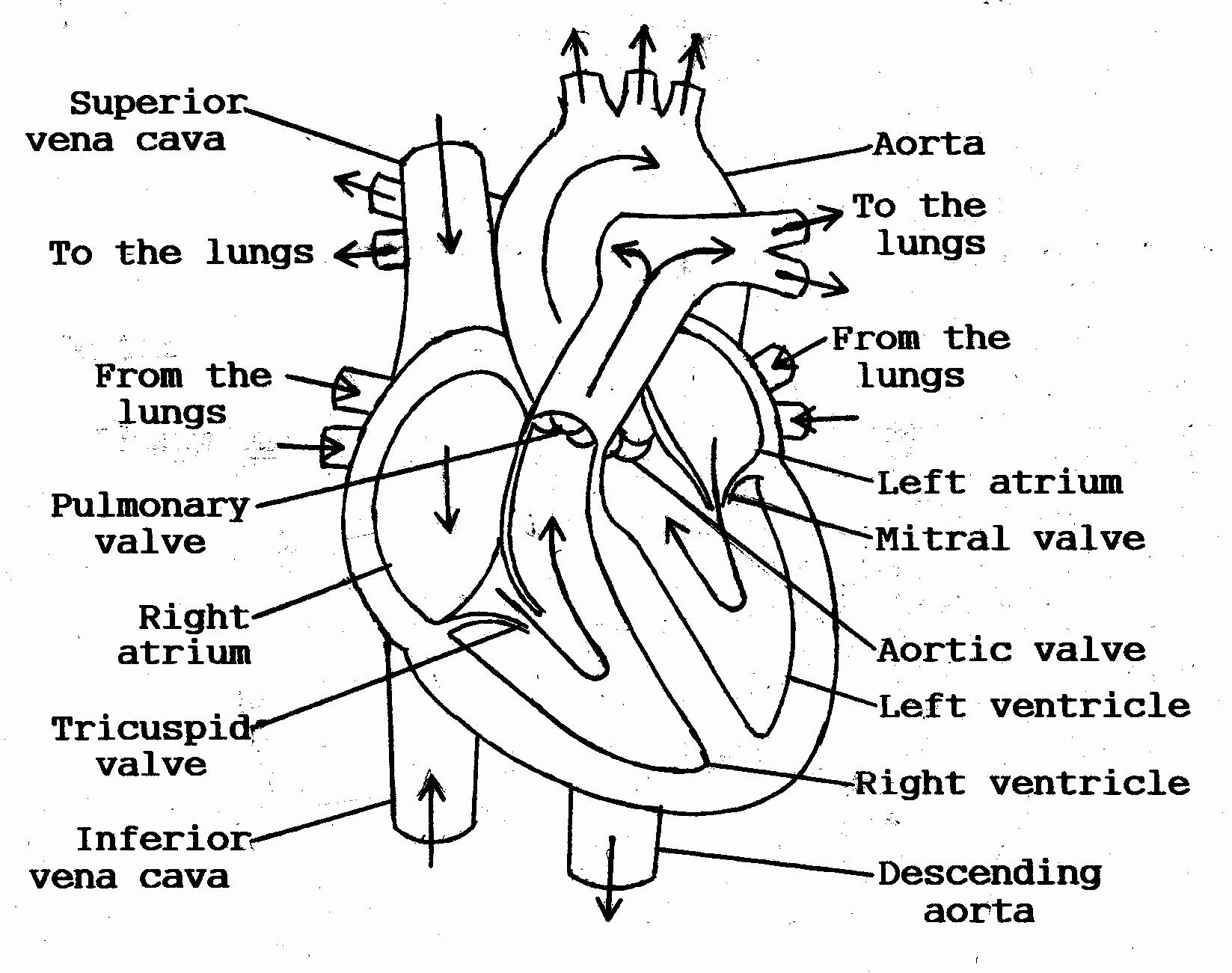 Heart Diagram Worksheet Blank Fresh 11 Best Of Blank Heart Diagram Worksheet with Word