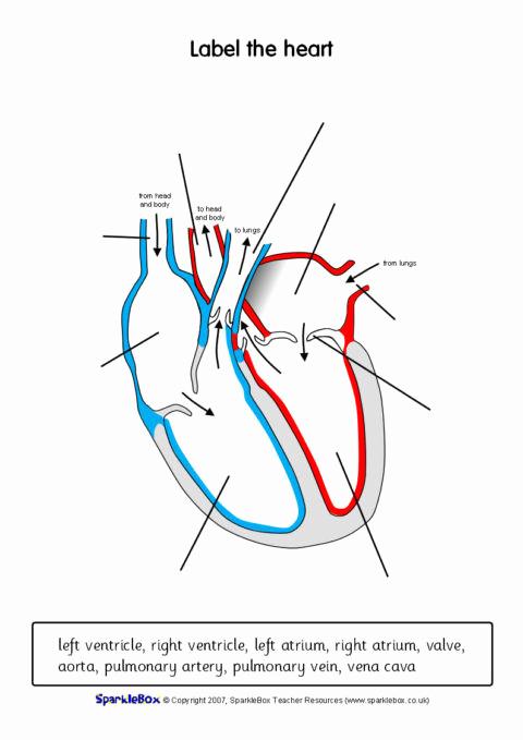 Heart Diagram Worksheet Blank Fresh 30 Heart Diagram Worksheet Blank