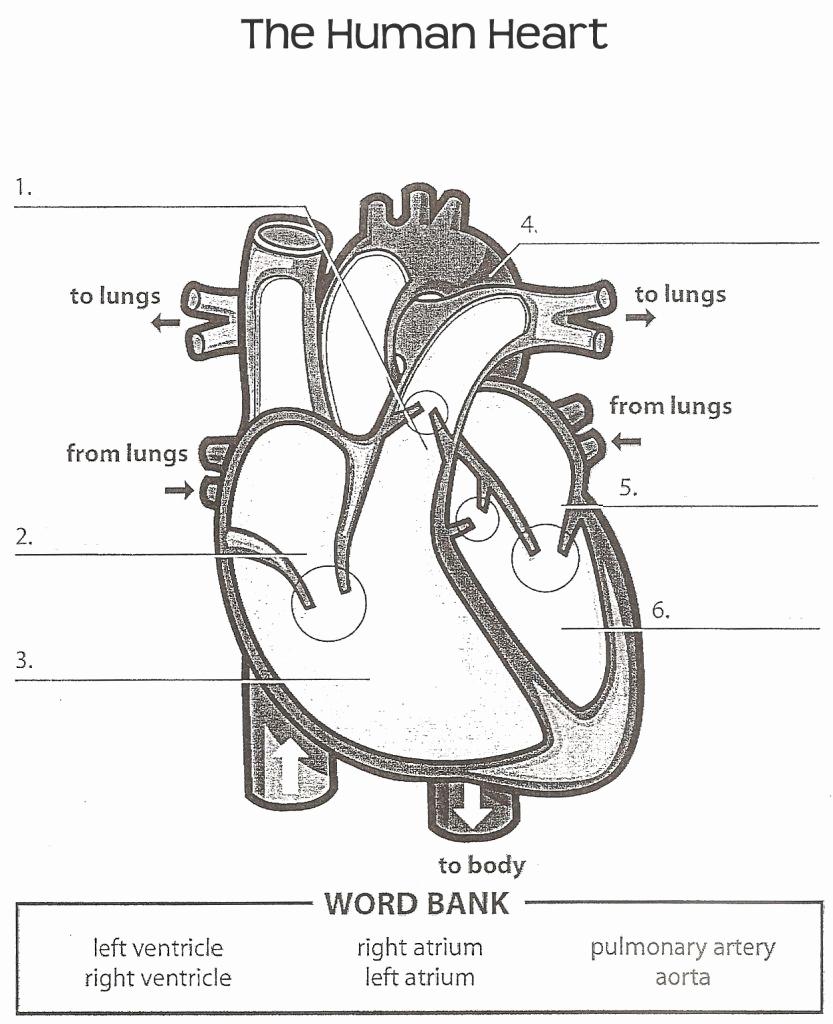 Heart Diagram Worksheet Blank Fresh Heart Diagram Printable Worksheet
