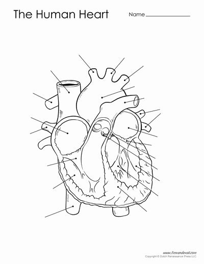 Heart Diagram Worksheet Blank Inspirational Free Printable Heart Diagram for Kids Labeled and