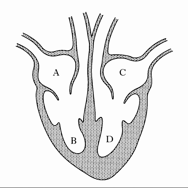 Heart Diagram Worksheet Blank Lovely Blank Simple Heart Diagram