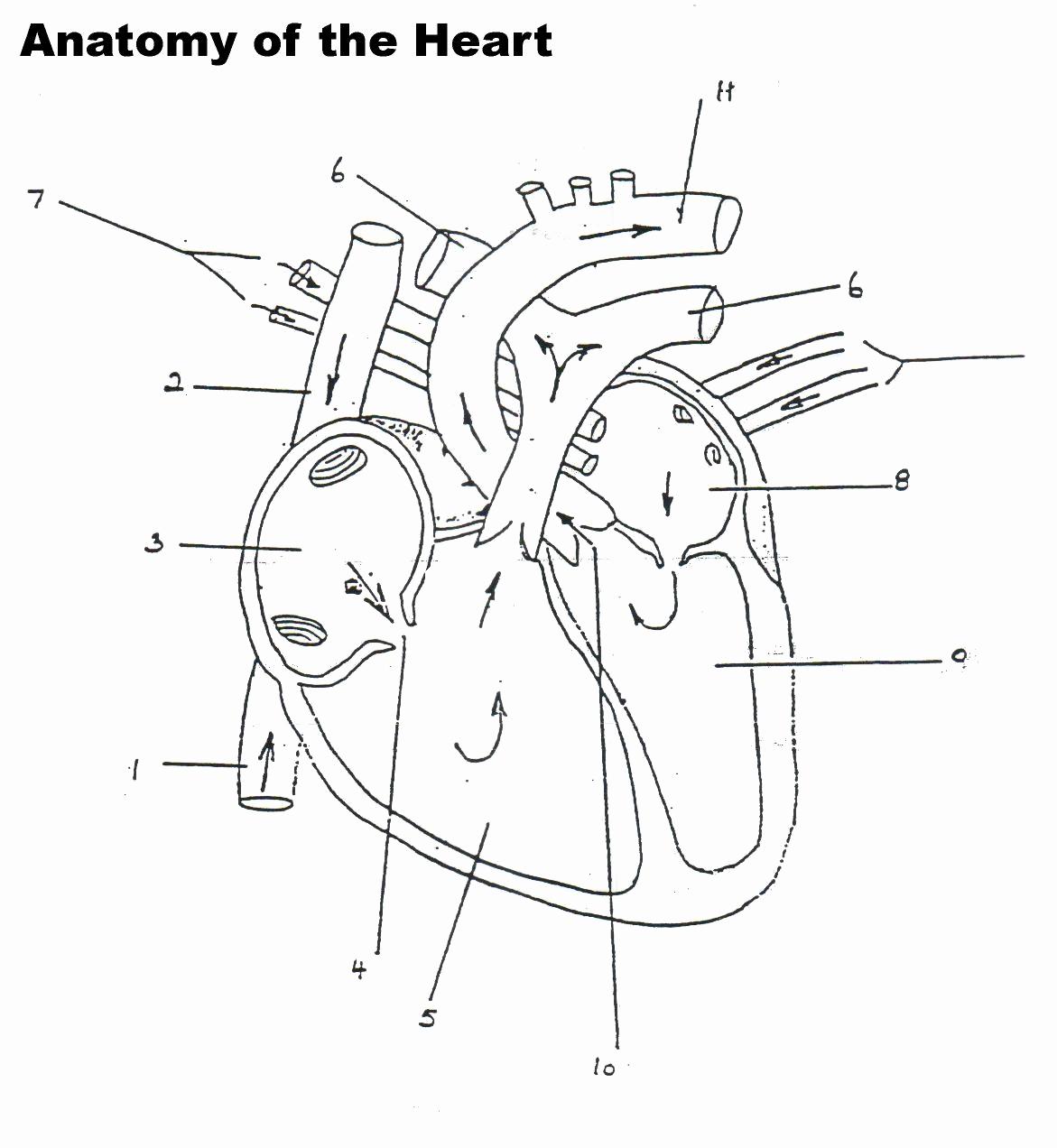 Heart Diagram Worksheet Blank Lovely Human Heart Worksheet Blank