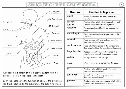 Human Body Worksheets Middle School Lovely Human Body Worksheets Middle School Body Systems and