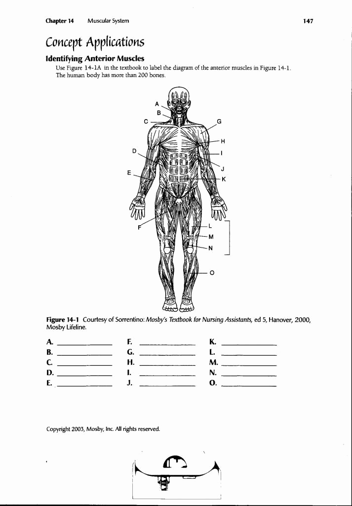 Muscle Diagram Worksheets Awesome Blank Muscle Diagram to Label Inspirational Human Anatomy
