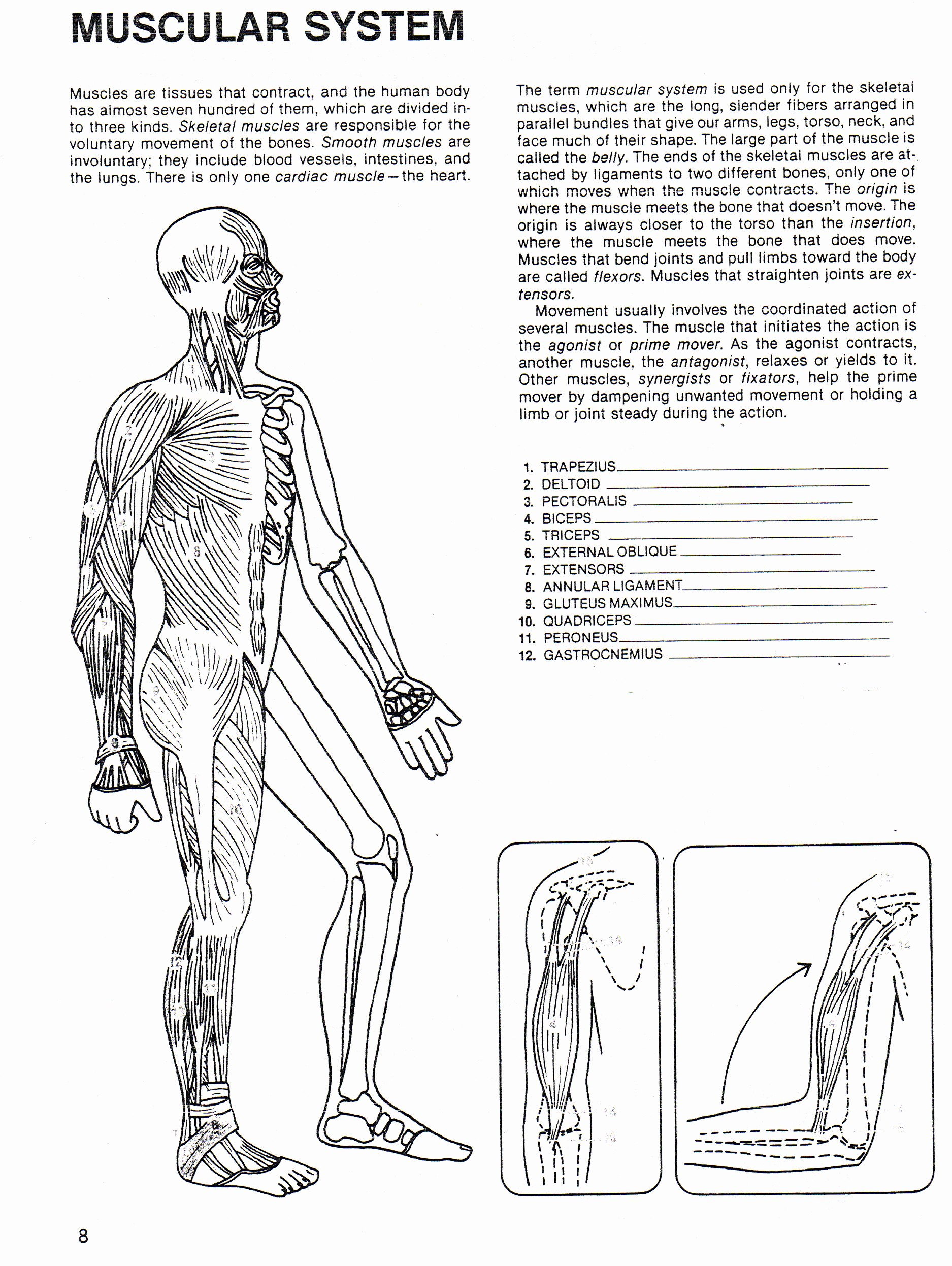 Muscle Diagram Worksheets Best Of Human Body Systems Worksheets Pdf