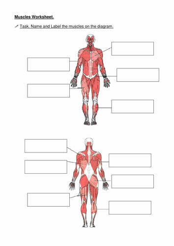Muscle Diagram Worksheets Best Of Muscles Name the Muscle