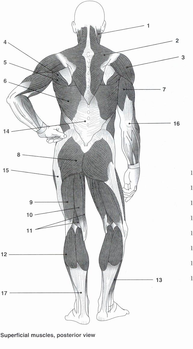 Muscle Diagram Worksheets Best Of Muscular System Labeling Worksheet Defendusinbattleblog