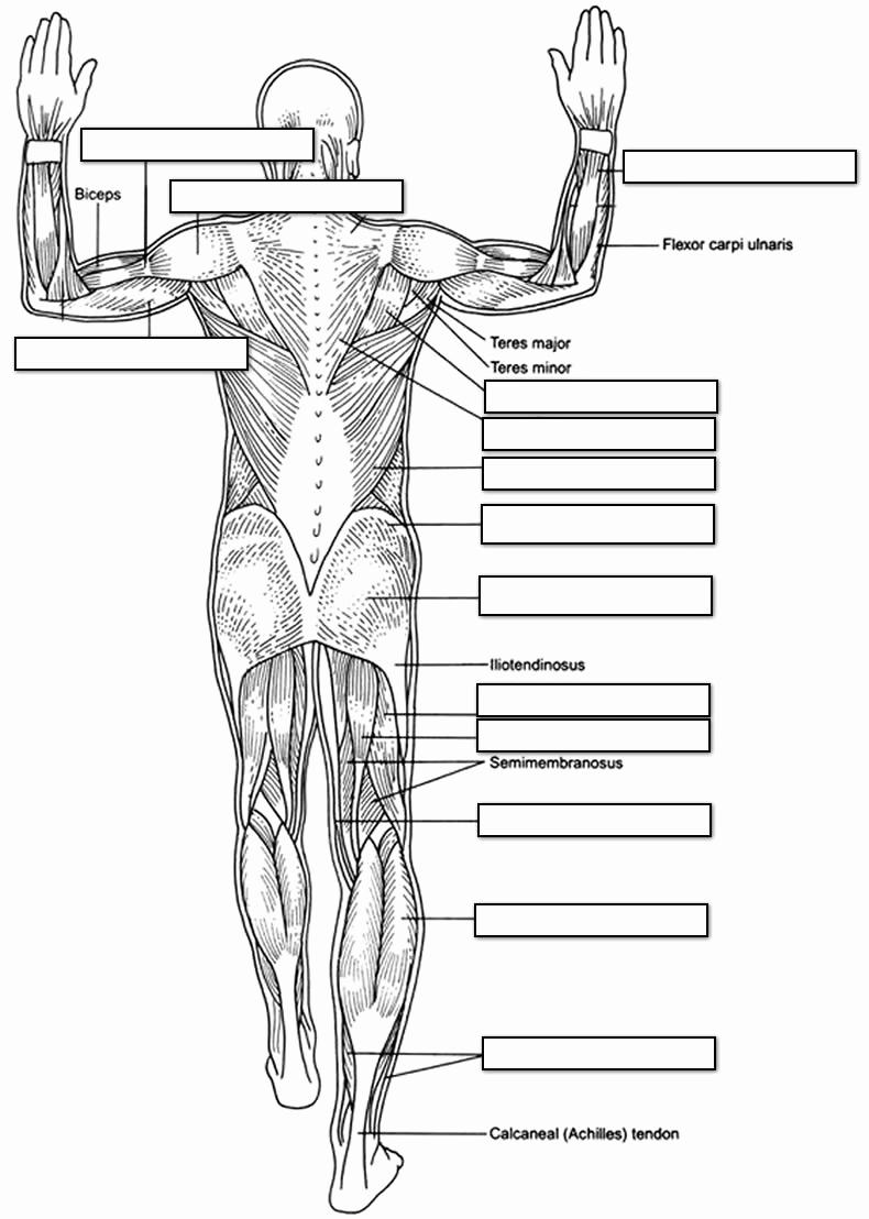 Muscle Diagram Worksheets Elegant 14 Best Of Muscle Labeling Worksheet High School