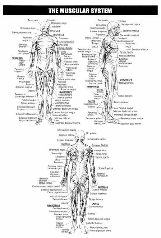 Muscle Diagram Worksheets Elegant Blank Muscle Diagram to Label Sketch Coloring Page