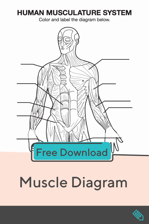 Muscle Diagram Worksheets Elegant Muscle Diagram with Images