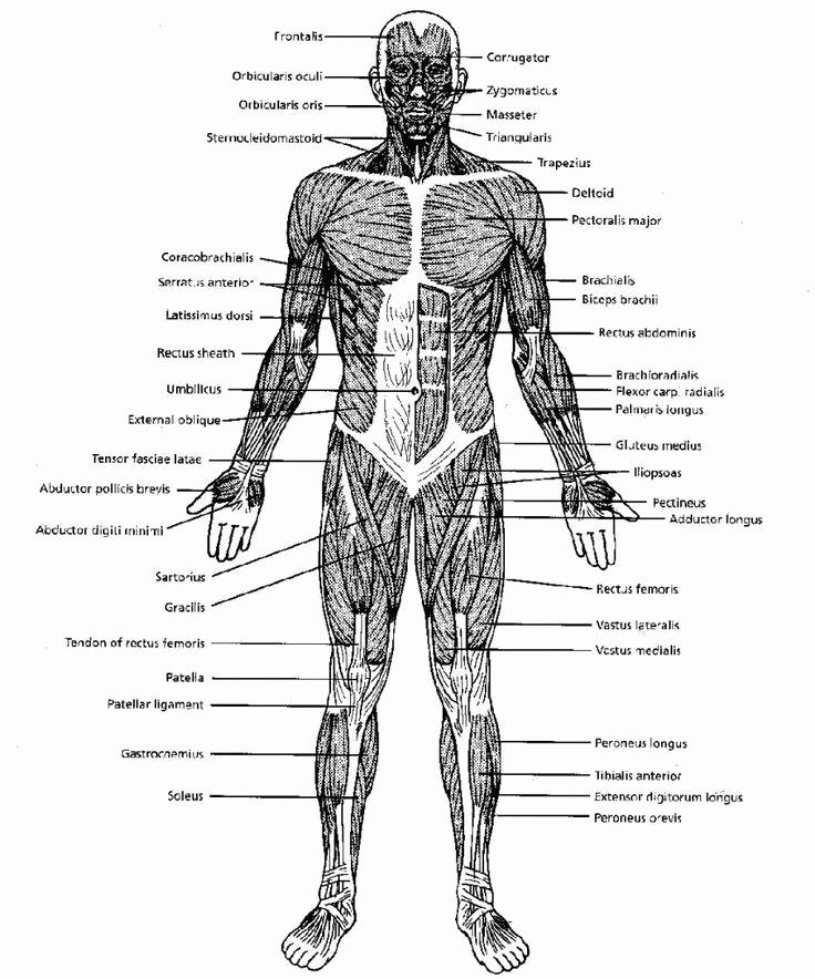 Muscle Diagram Worksheets Elegant Muscle Diagram Worksheets