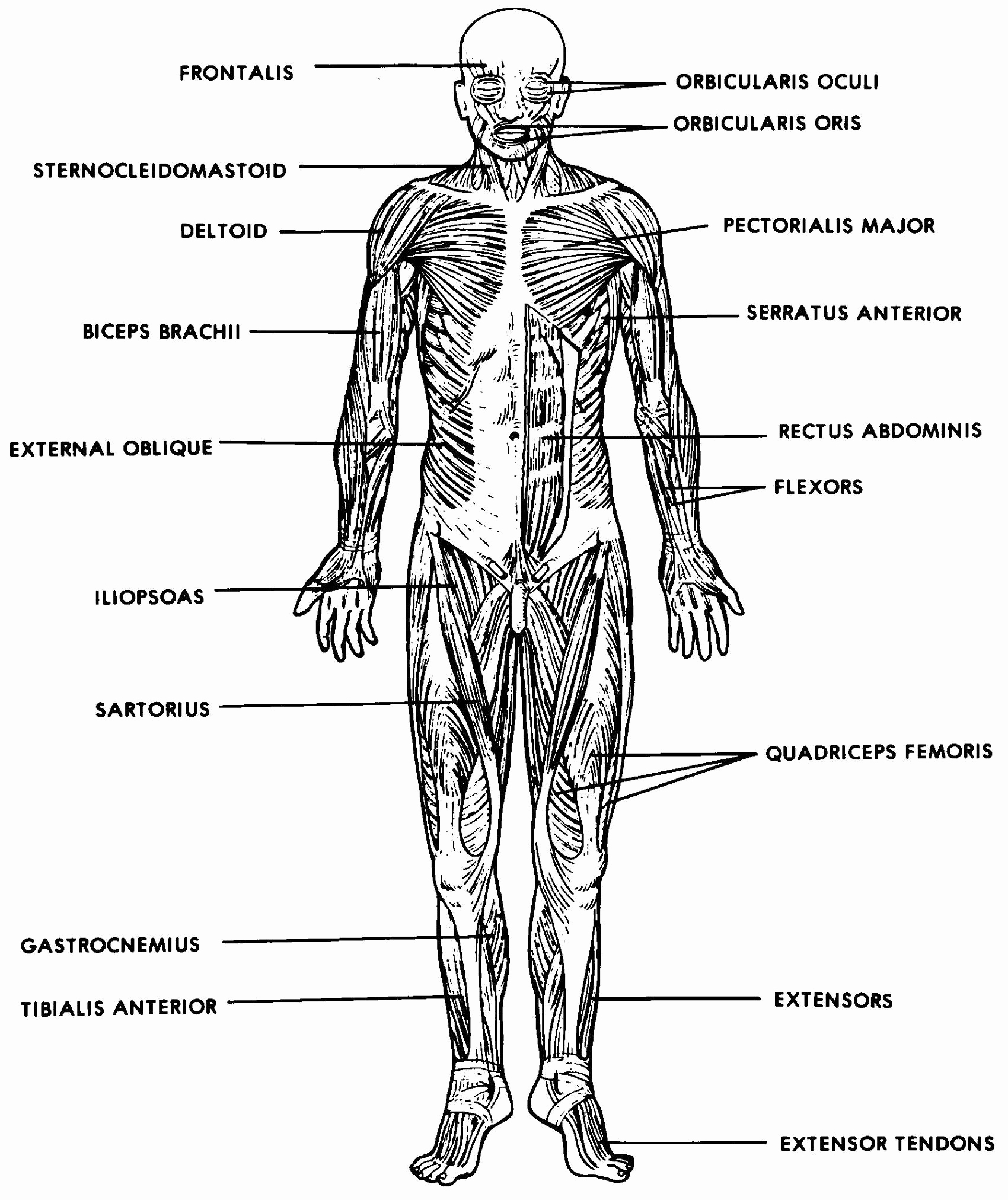 Muscle Diagram Worksheets Elegant the Muscular System Labeled