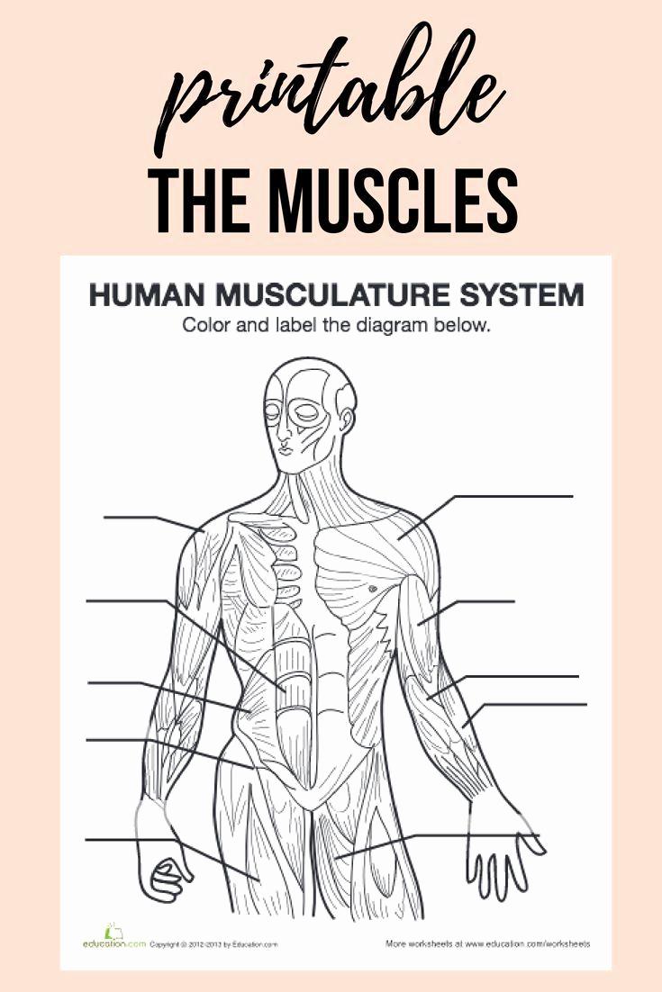 Muscle Diagram Worksheets Fresh Muscle Diagram
