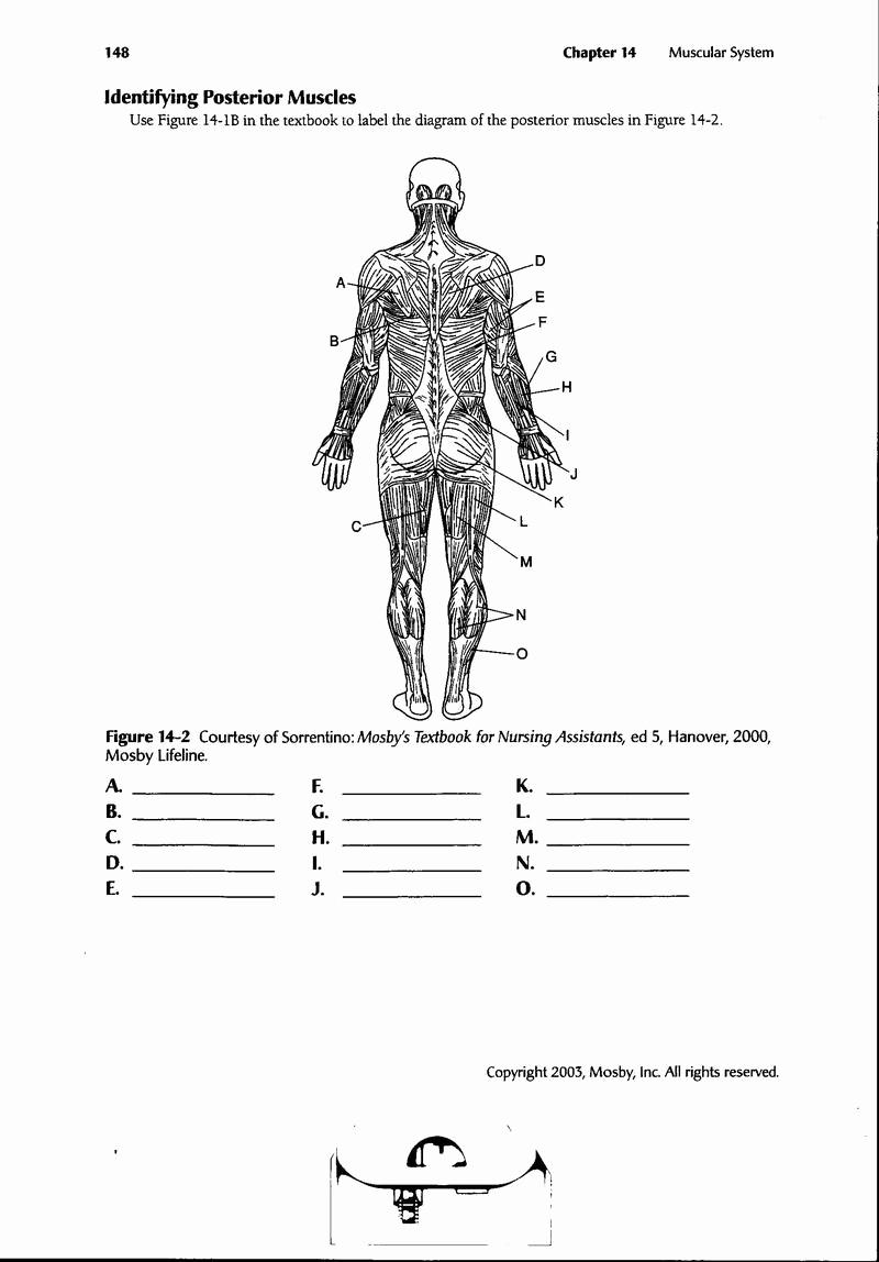 Muscle Diagram Worksheets Inspirational 13 Best Of Muscle Labeling Worksheet Label