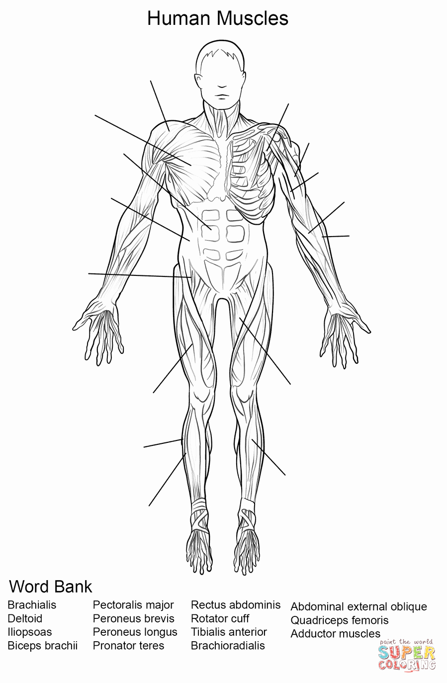 Muscle Diagram Worksheets Lovely Human Muscles Front View Worksheet Coloring Page