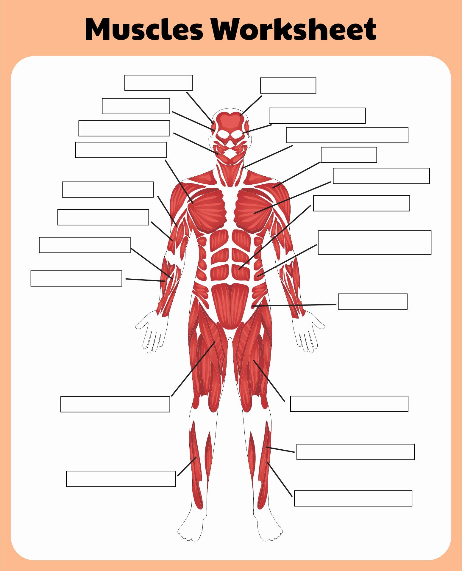 Muscle Diagram Worksheets Luxury 6 Best Of Printable Worksheets Muscle Anatomy