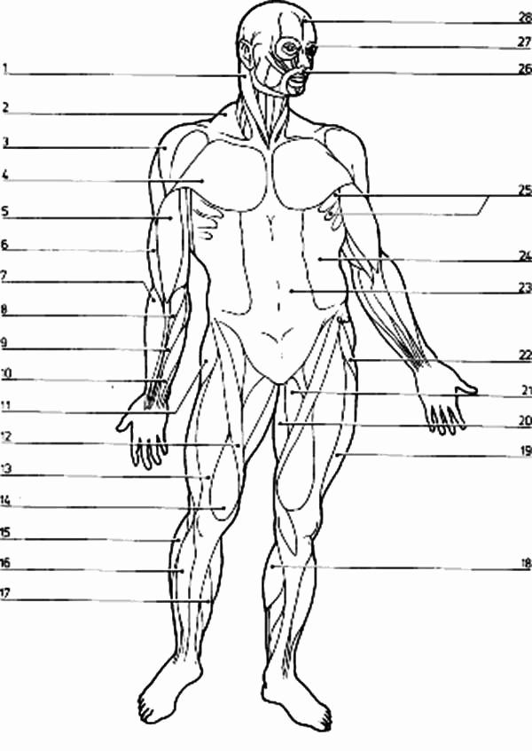 Muscle Diagram Worksheets Luxury Blank Muscle Diagram Worksheet Free Muscular System