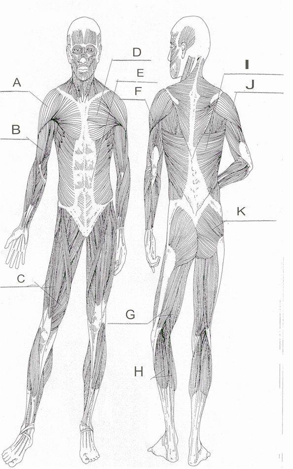 Muscle Diagram Worksheets Luxury Blank Muscle Diagram Worksheet Print F In 2020