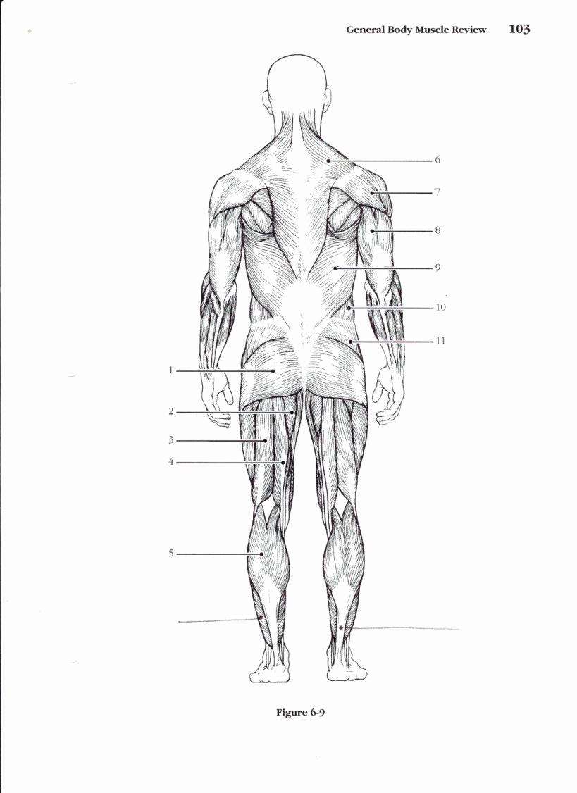 Muscle Diagram Worksheets Luxury Muscular System Worksheet