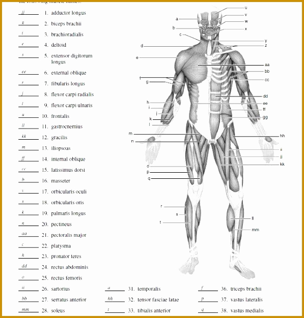 Muscle Diagram Worksheets New 7 Muscle Contraction Worksheet