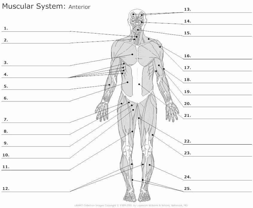 Muscle Diagram Worksheets New Learn Anterior Muscles by Alysenbeasley6 Memorize