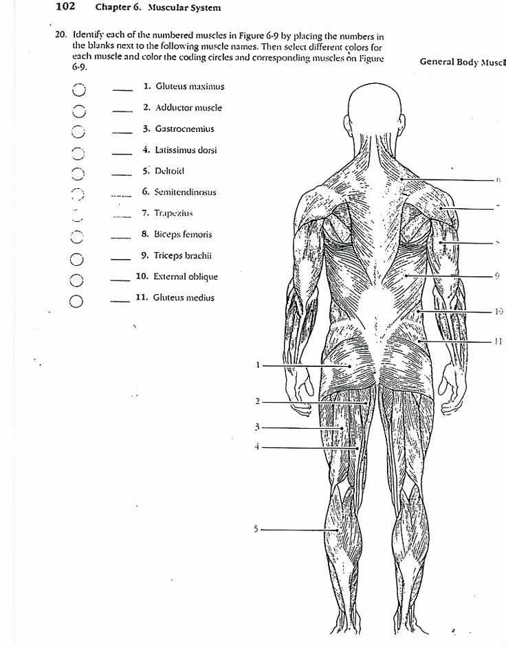 Muscle Diagram Worksheets New Muscle Diagram Worksheets