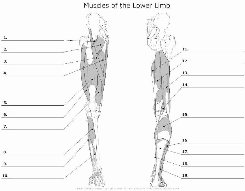 Muscle Diagram Worksheets New Muscle Worksheet