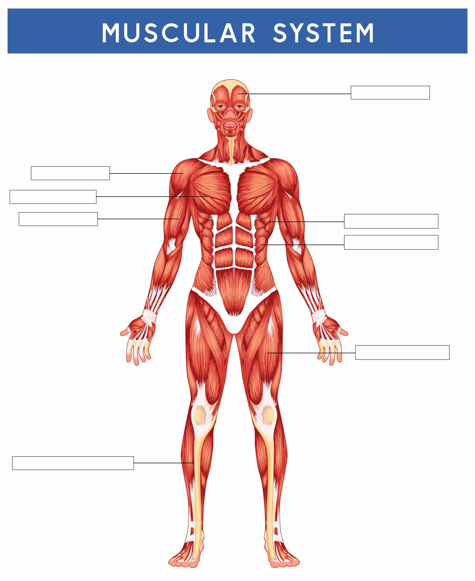 Muscle Diagram Worksheets Unique 6 Best Of Printable Worksheets Muscle Anatomy
