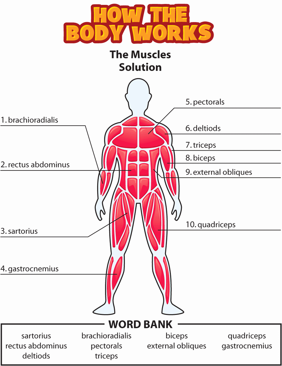 Muscle Diagram Worksheets Unique Answers the Muscles