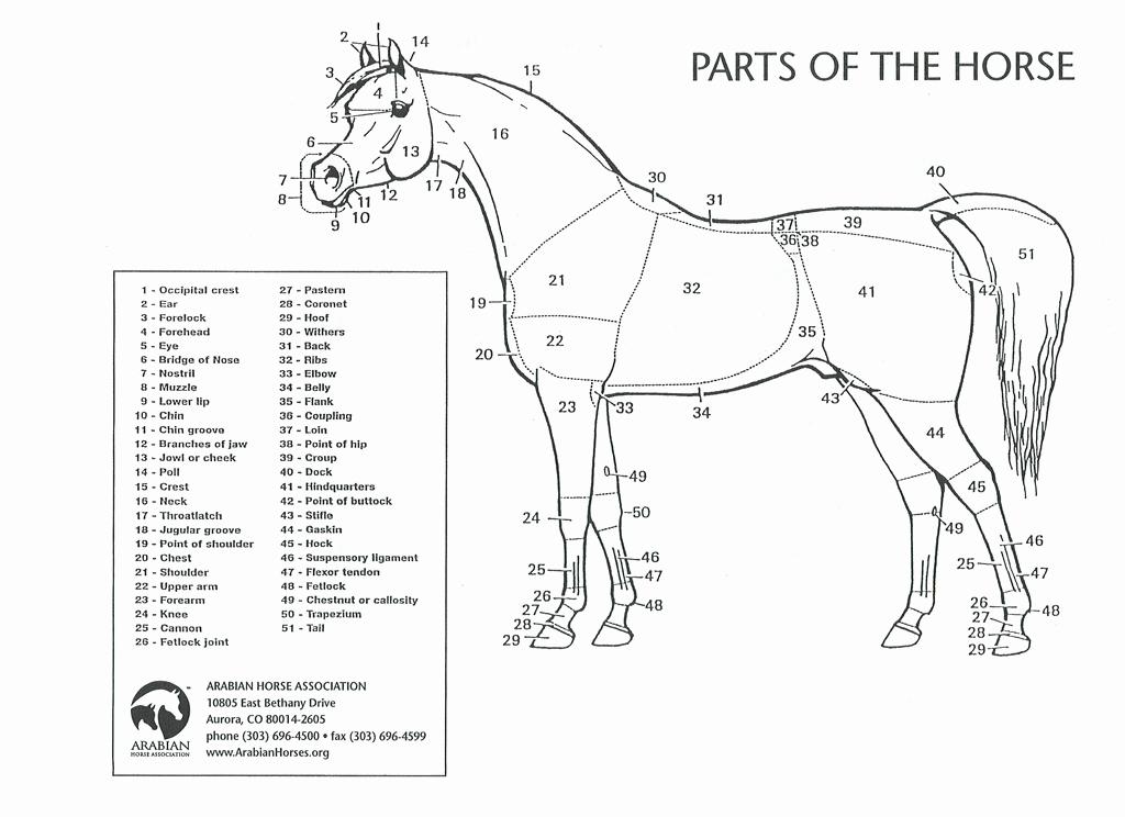 Printable Horse Anatomy Worksheets Beautiful 32 Parts the Horse Worksheet Worksheet Project List