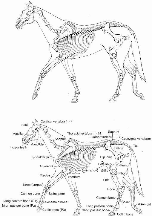 Printable Horse Anatomy Worksheets Best Of Pin On Printable Worksheet Template