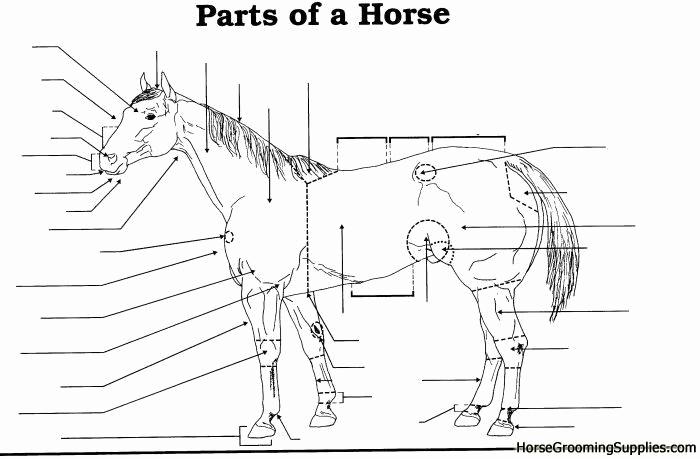 Printable Horse Anatomy Worksheets Unique Free Printable Horse Anatomy Worksheets thekidsworksheet